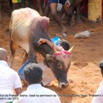 Cruelty Stage 3: Arena:  Alanganallur: Tiny breeds of bull that are weak and which cannot fight against the mob are also forced to participate