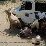 Cruelty Stage 4: End Point:  Avaniapuram:  Bull running to avoid the chasing crowd hits the ambulance which is parked blocking the way where the bulls run.