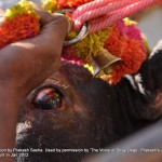 Cruelty Stage 2: Entry Point: Palamedu: Bull with injured eye dragged in to entry point
