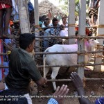 Cruelty Stage 2: Entry Point:  Palamedu: The same bull out of fear turns back breaks the metal gate and tries to escape.  A man with green shirt attacks the animal with a stick with group of police being mere spectators