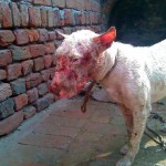 Dog from Malwa Kennels after a fight