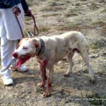 Dog called 'Akbar' after a dog fight in the Punjab