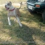 Fighter dog in rural Punjab