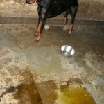 A Doberman standing in its own urine and feces