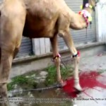Illegal camel slaughter on Bakr Eid near Jama Masjid in New Delhi Camel 2 photo 1