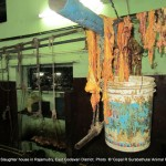 Animal fat preserved to prepare animal fat oil in the slaughter house