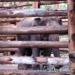 The 'rogue' elephant kept tightly chained and enclosed at Sakrebailu - died within 48 hrs of these pics