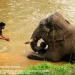 elephant at the dubare elepahnt camp
